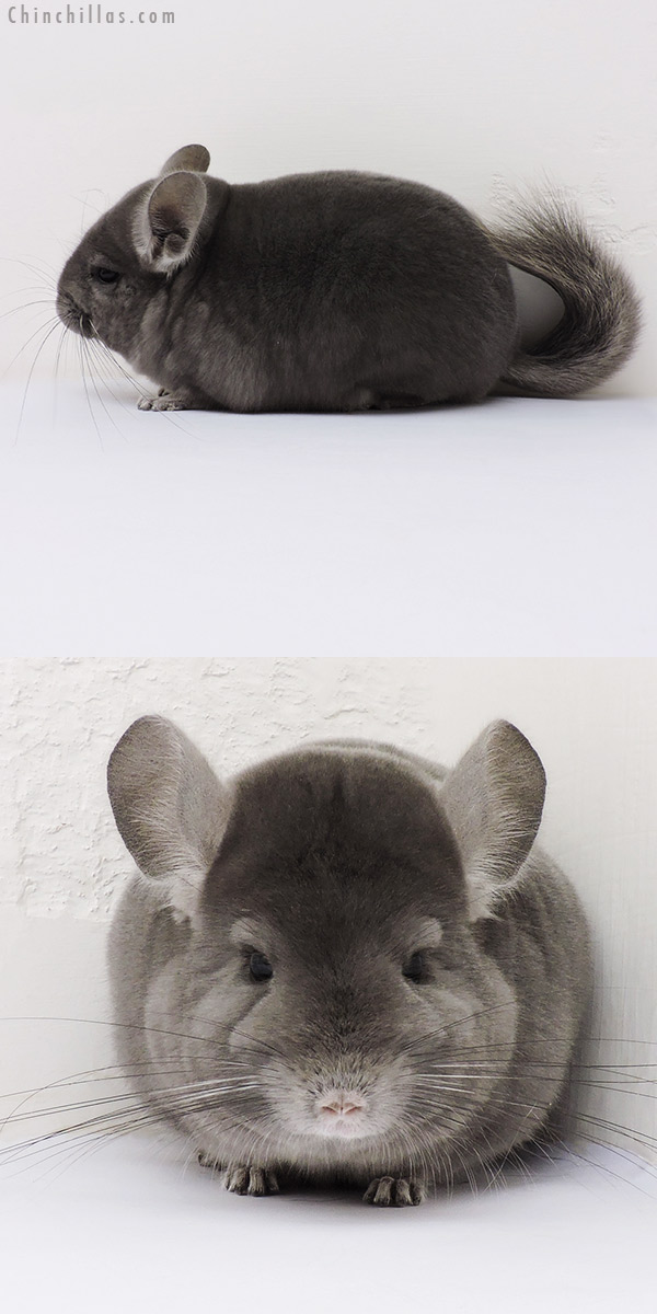 16159 Show Quality Wrap Around Violet Female Chinchilla