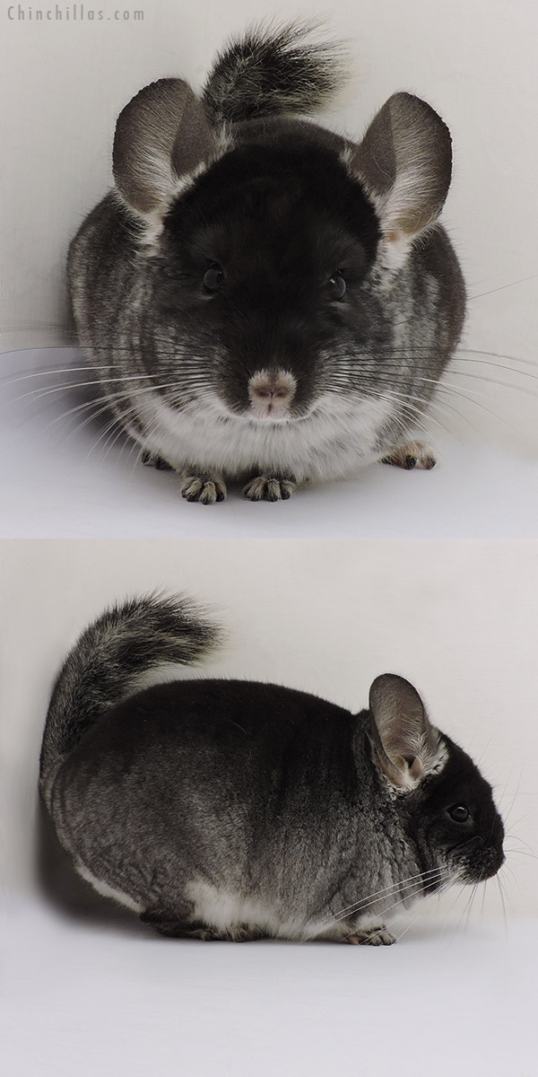 16147 Show Quality Black Velvet ( Violet Carrier ) Male Chinchilla