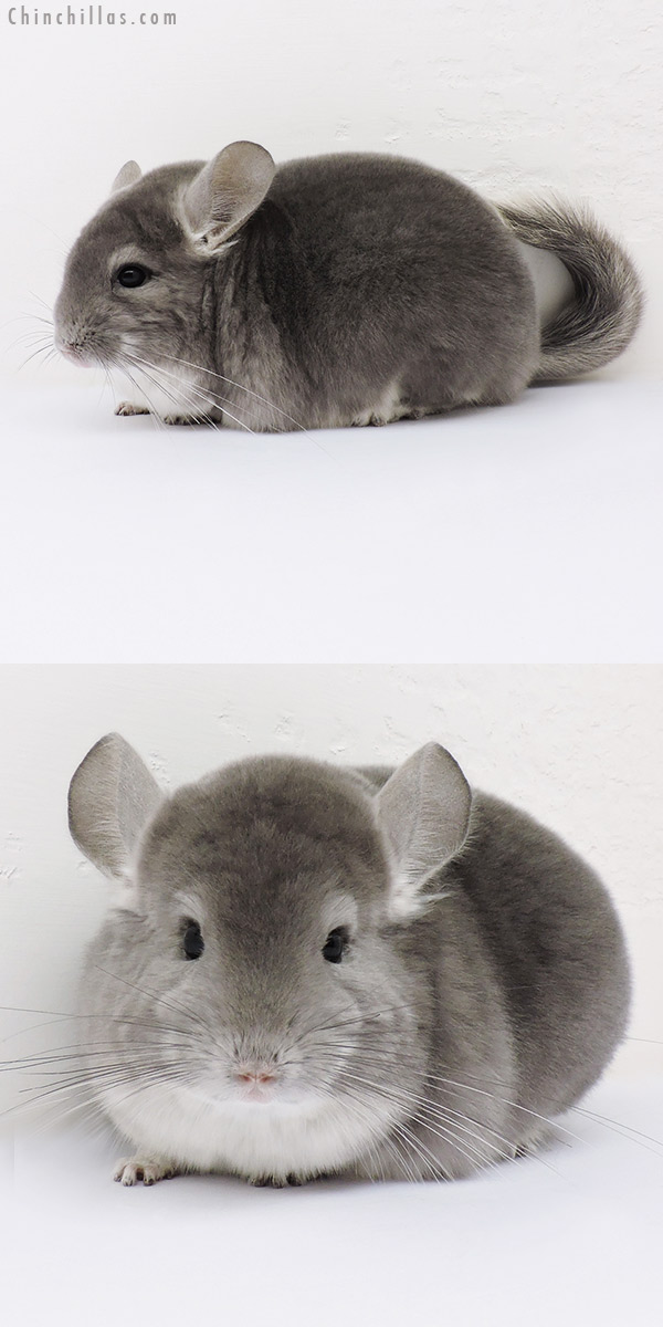 16160 Show Quality Violet Female Chinchilla