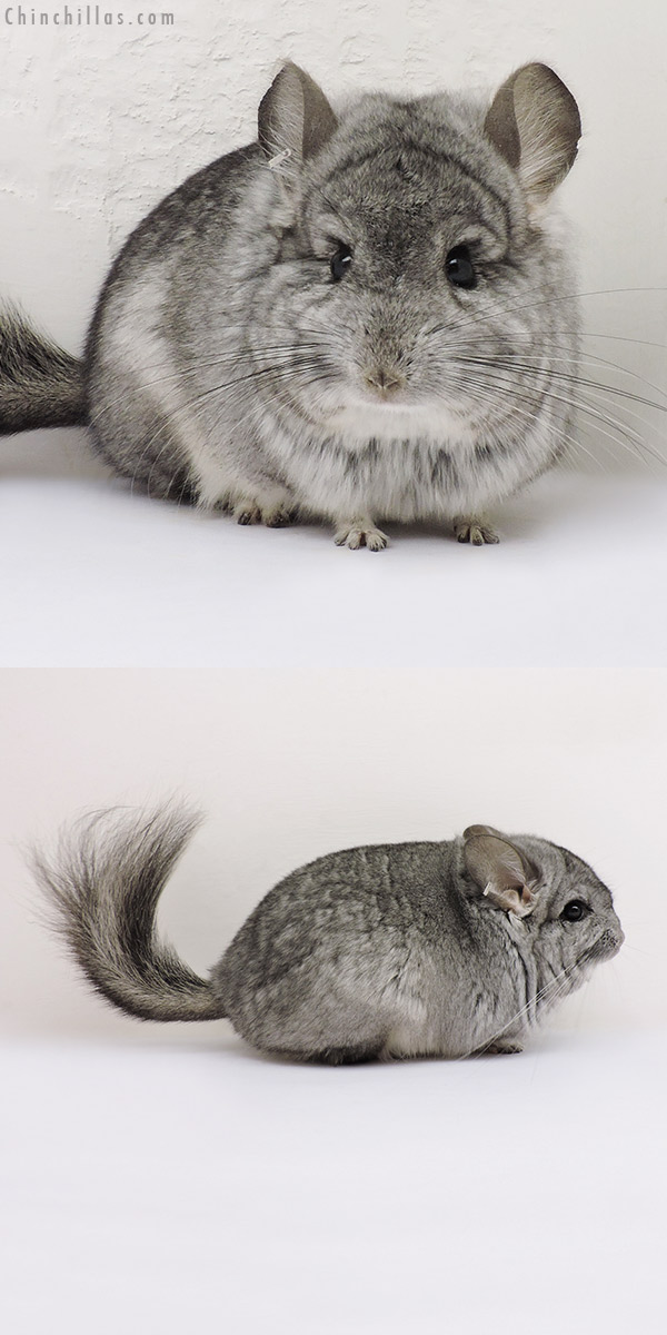 16170 Standard ( Violet Carrier ) CCCU Royal Persian Angora Male Chinchilla