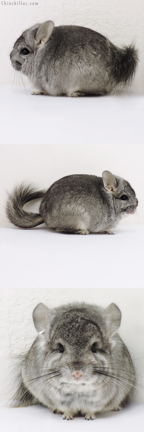 16176 Standard ( Violet Carrier ) CCCU Royal Persian Angora Male Chinchilla