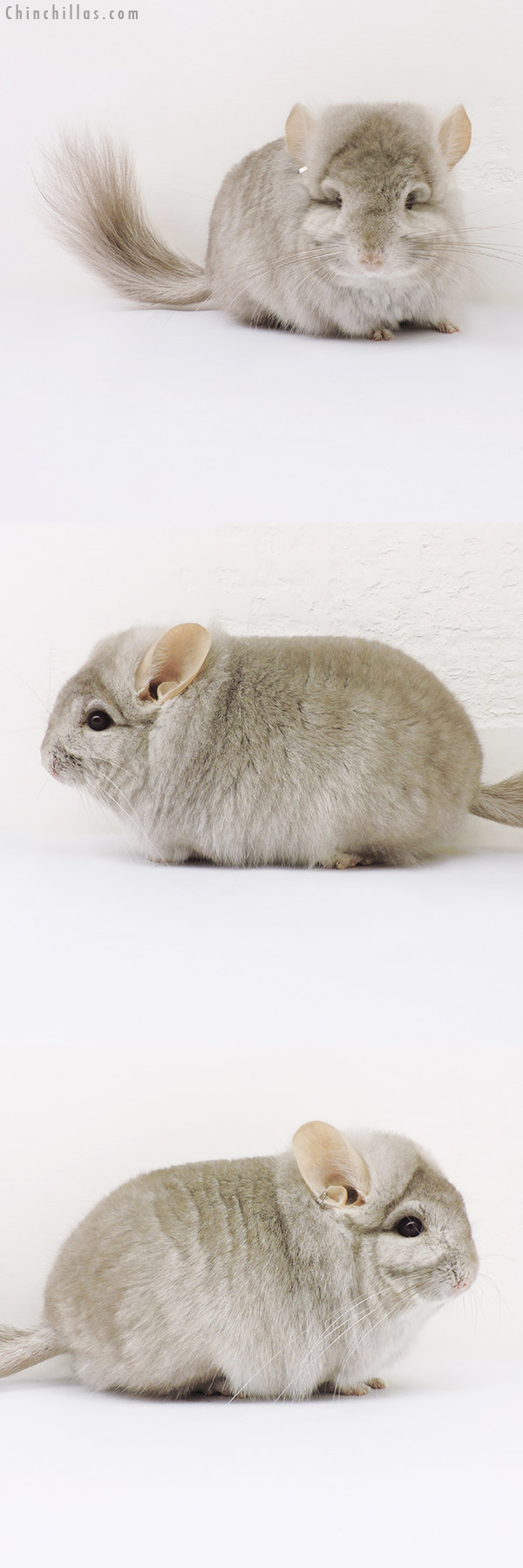 16196 Exceptional, Blocky Beige CCCU Royal Persian Angora Male Chinchilla