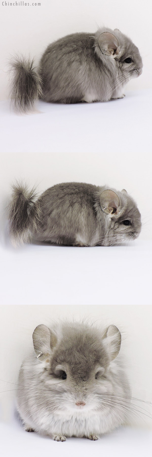 16203 Exceptional Violet CCCU Royal Persian Angora Male with Lion Mane Chinchilla
