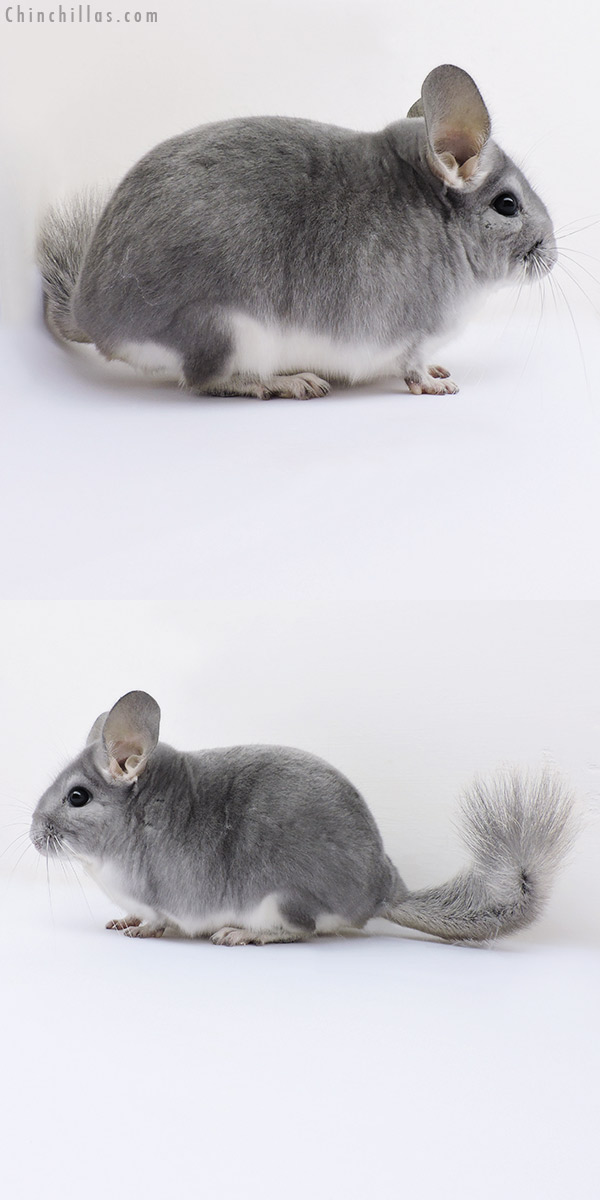 16198 Show Quality Blue Diamond Male Chinchilla