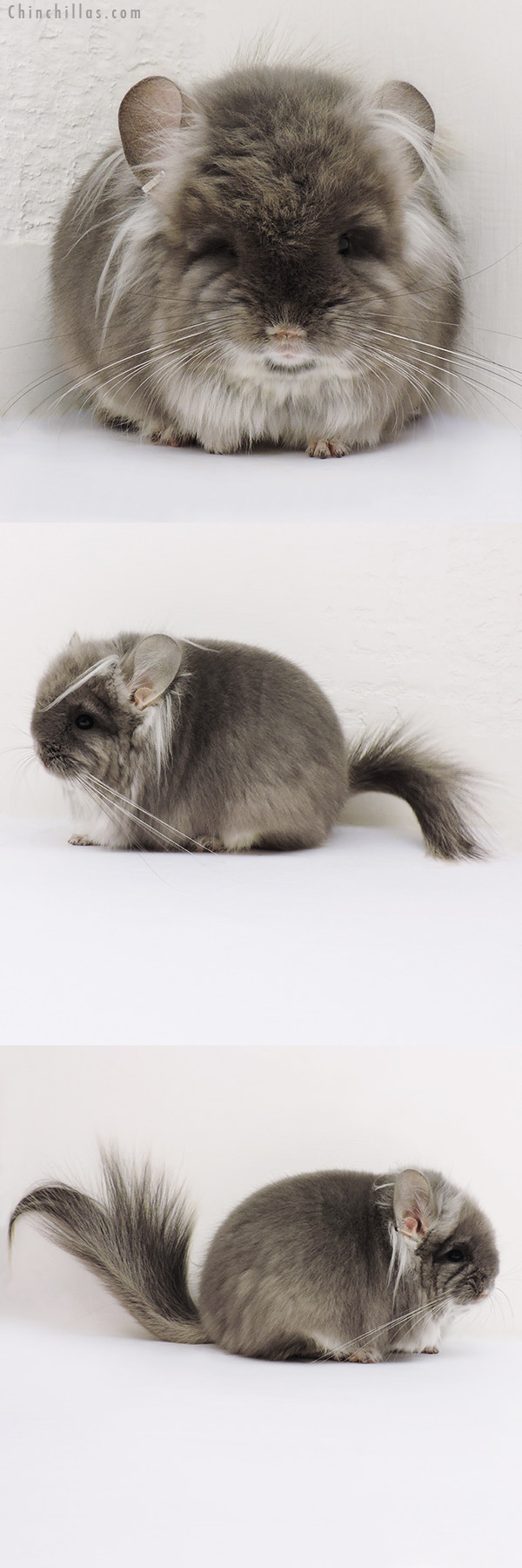 16197 Exceptional Brevi Type TOV Violet G2 CCCU Royal Persian Angora Male with Long Ear Tendrils Chinchilla