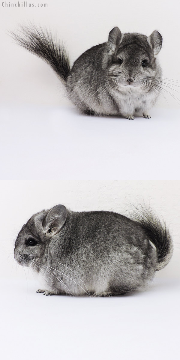 16213 Standard CCCU Royal Persian Angora Female Chinchilla