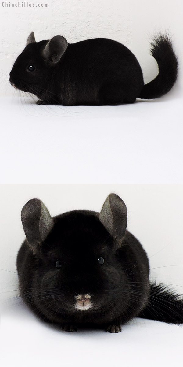 16192 Large Top Show Quality Ebony Male Chinchilla