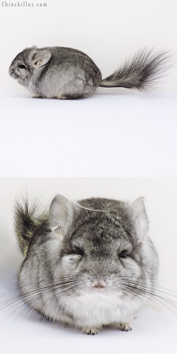 16200 Mini Standard ( Violet Carrier ) CCCU Royal Persian Angora Male Chinchilla