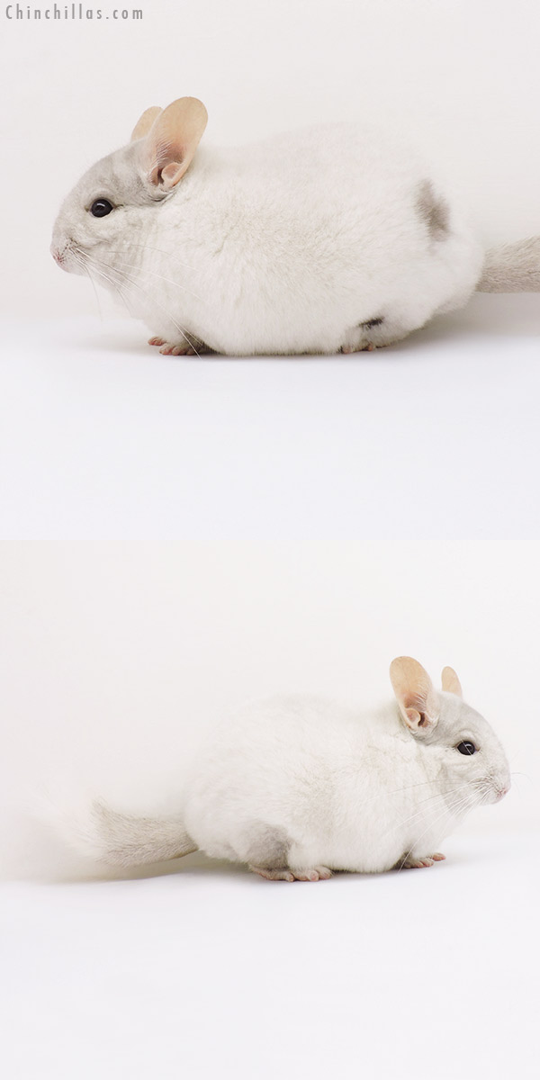 16193 Large Show Quality Pink White Male with Body Spot Chinchilla