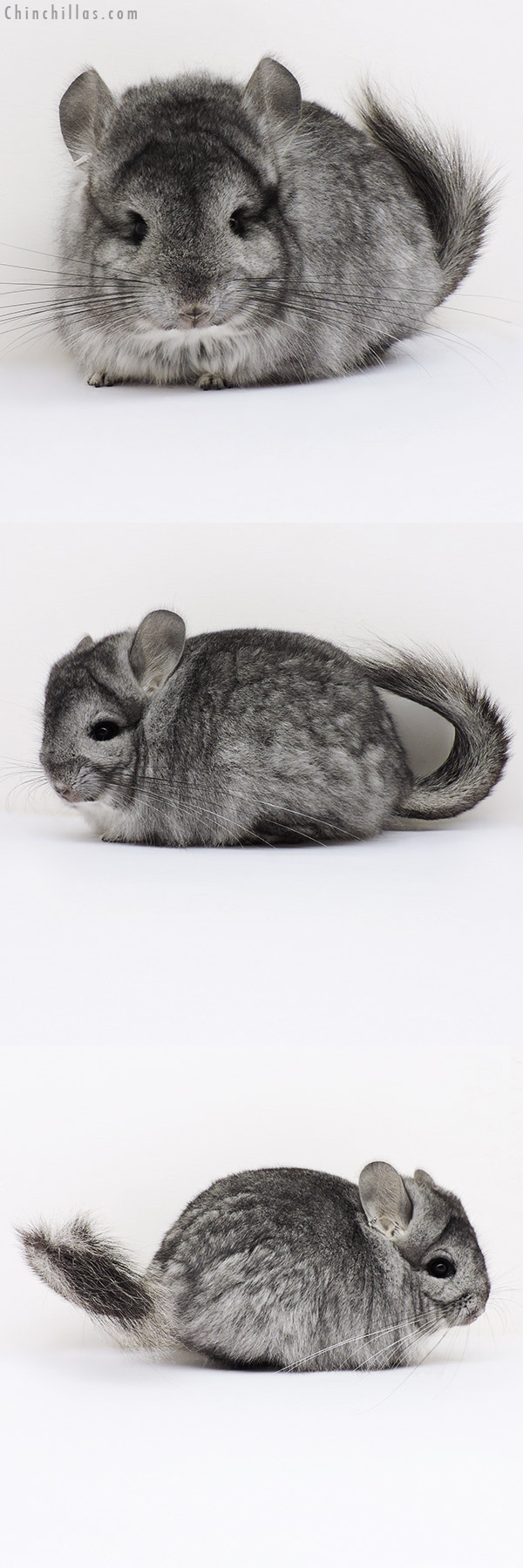 16183 Standard CCCU Royal Persian Angora Female Chinchilla