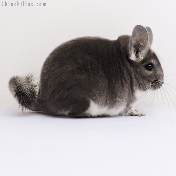 16209 Show Quality Violet Female Chinchilla