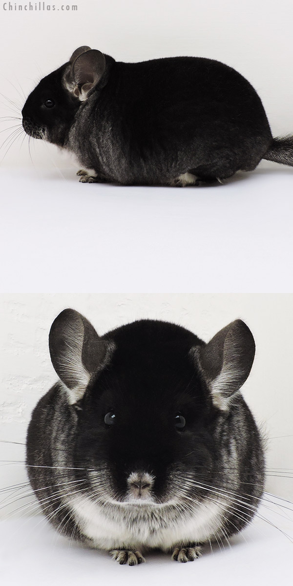 16191 Large Blocky Herd Improvement Quality Black Velvet Male Chinchilla