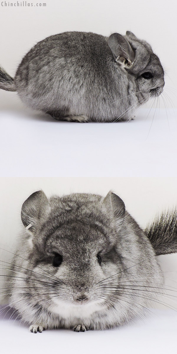 16212 Standard CCCU Royal Persian Angora Female Chinchilla