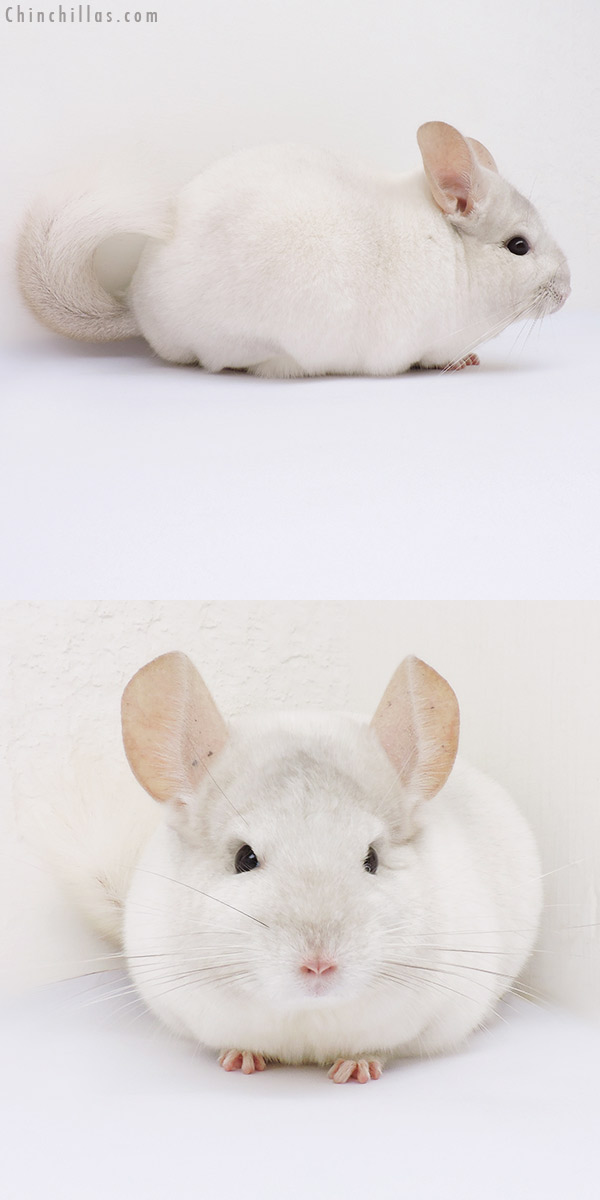 16199 Show Quality Pink White Male Chinchilla