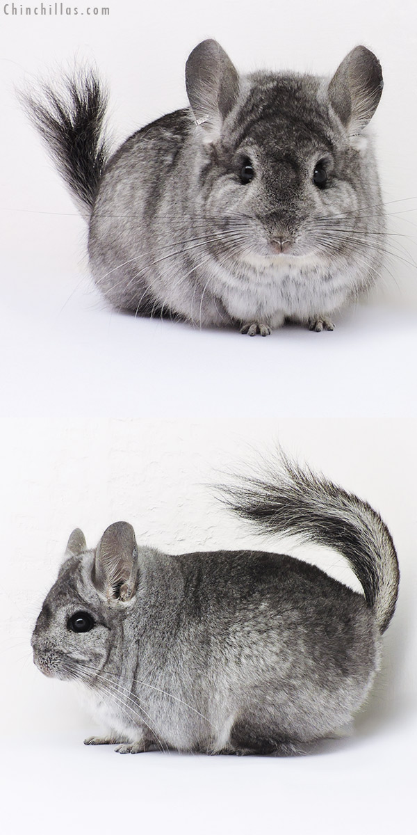 16202 Standard CCCU Royal Persian Angora Male Chinchilla