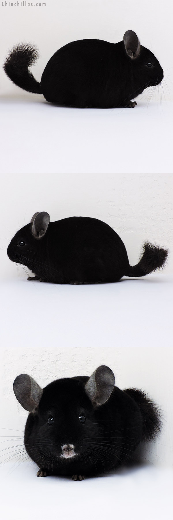 16215 Herd Improvement Quality Ebony Male Chinchilla
