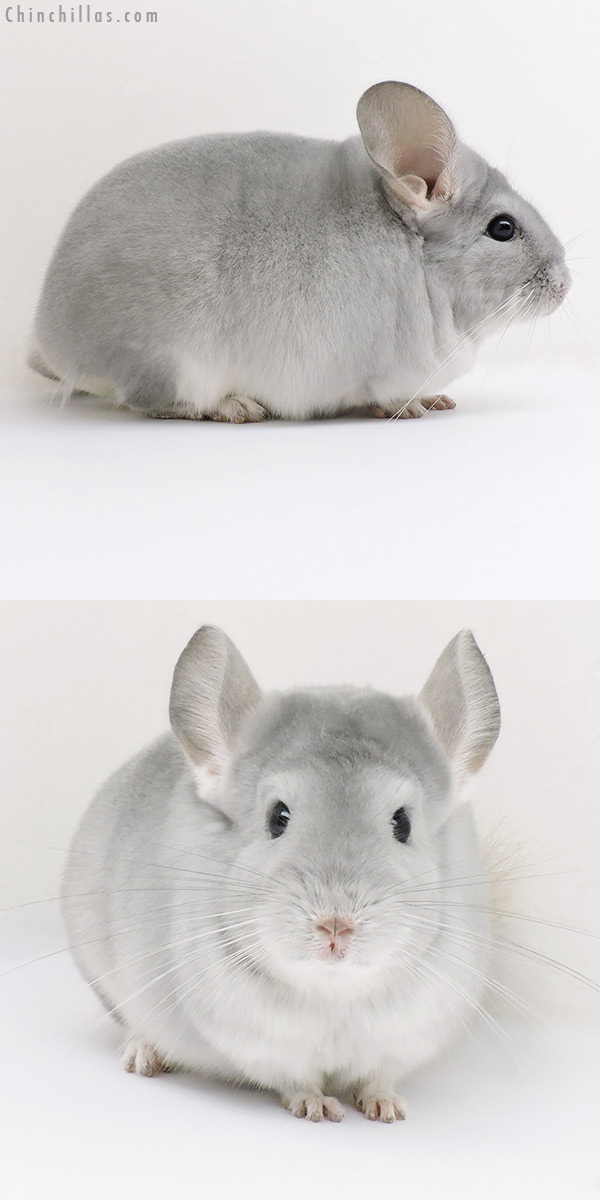16230 Premium Production Quality Blue Diamond Female Chinchilla