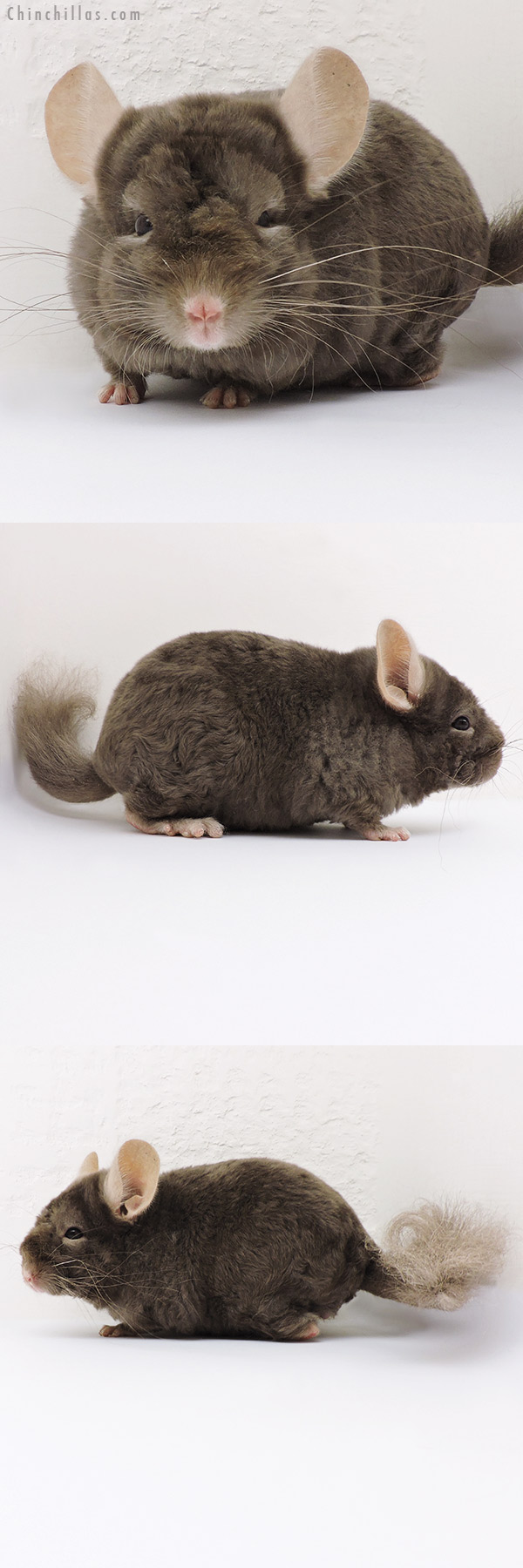 16225 Tan Locken Male Chinchilla