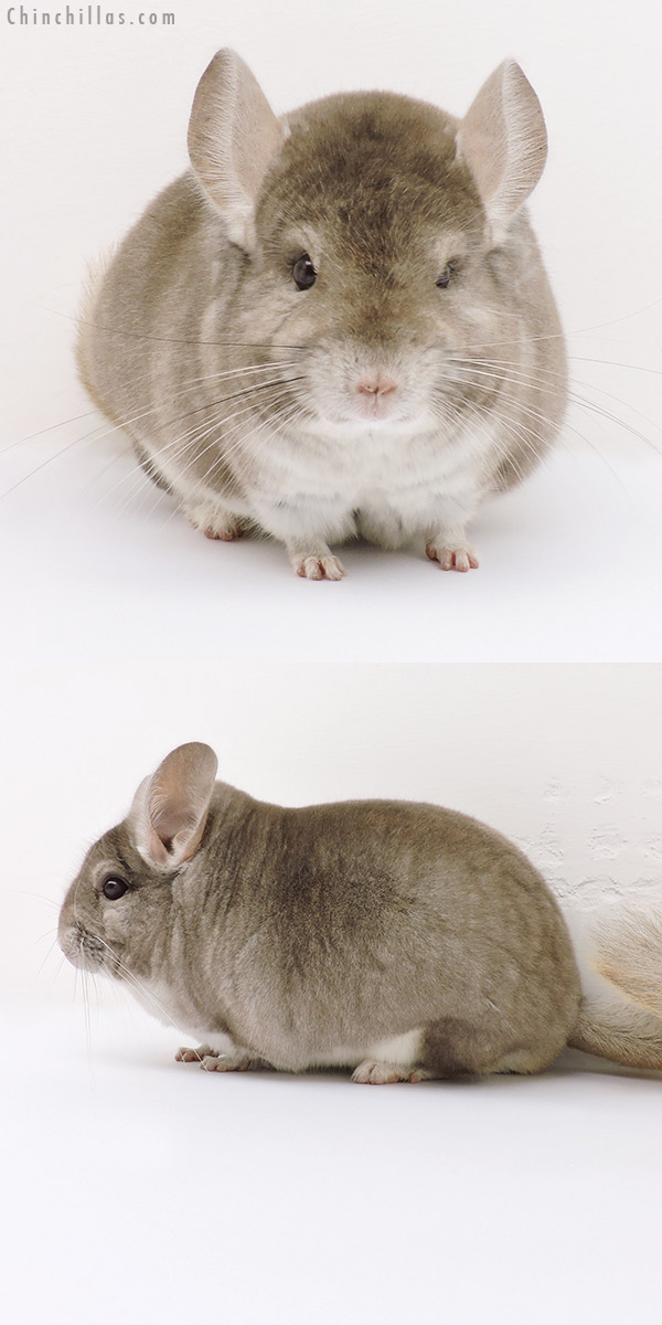 16222 Large Blocky Show Quality Beige Male Chinchilla