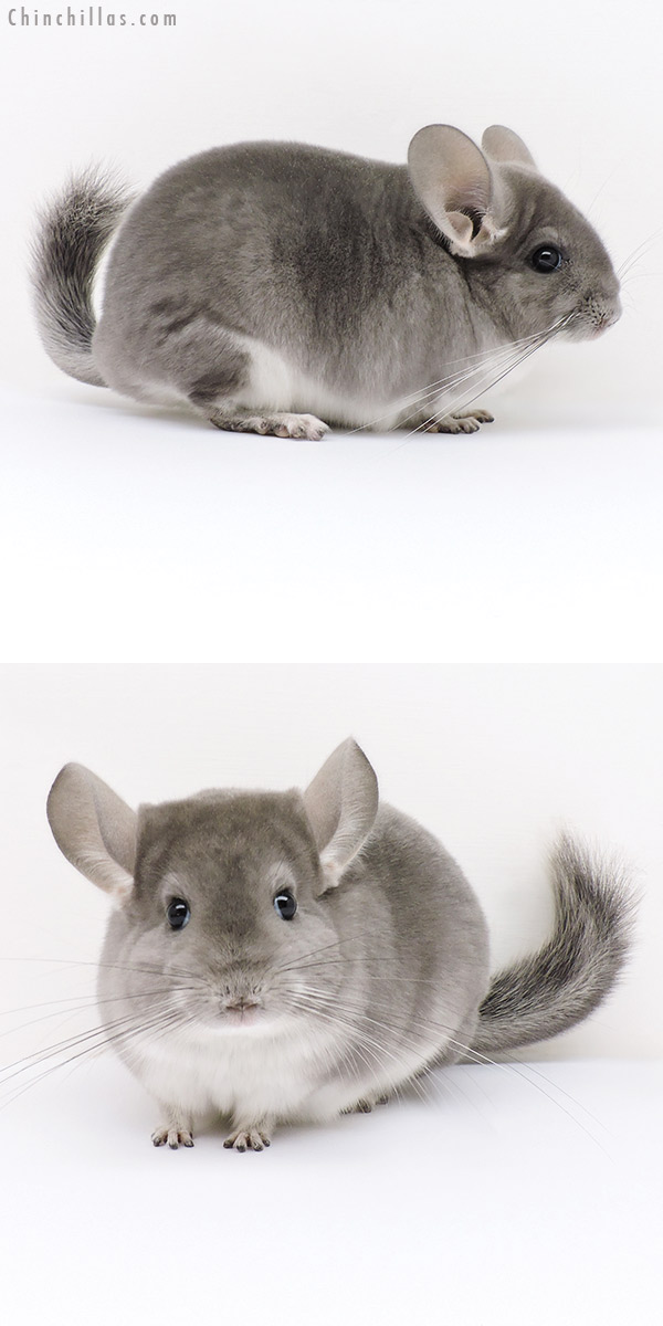 16234 Show Quality Violet Female Chinchilla