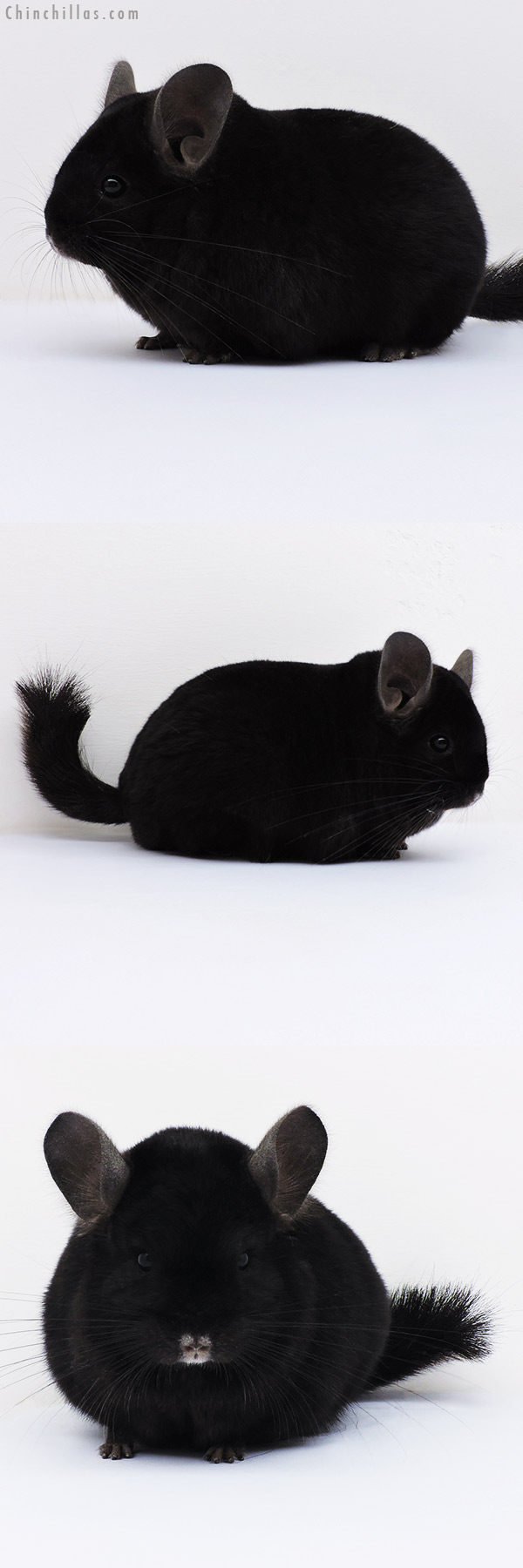16214 Blocky Herd Improvement Quality Ebony Male Chinchilla