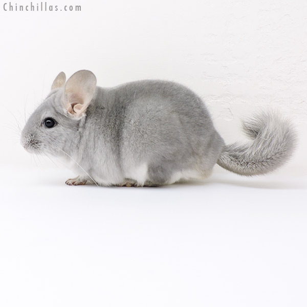 16217 Top Show Quality Blue Diamond Male Chinchilla