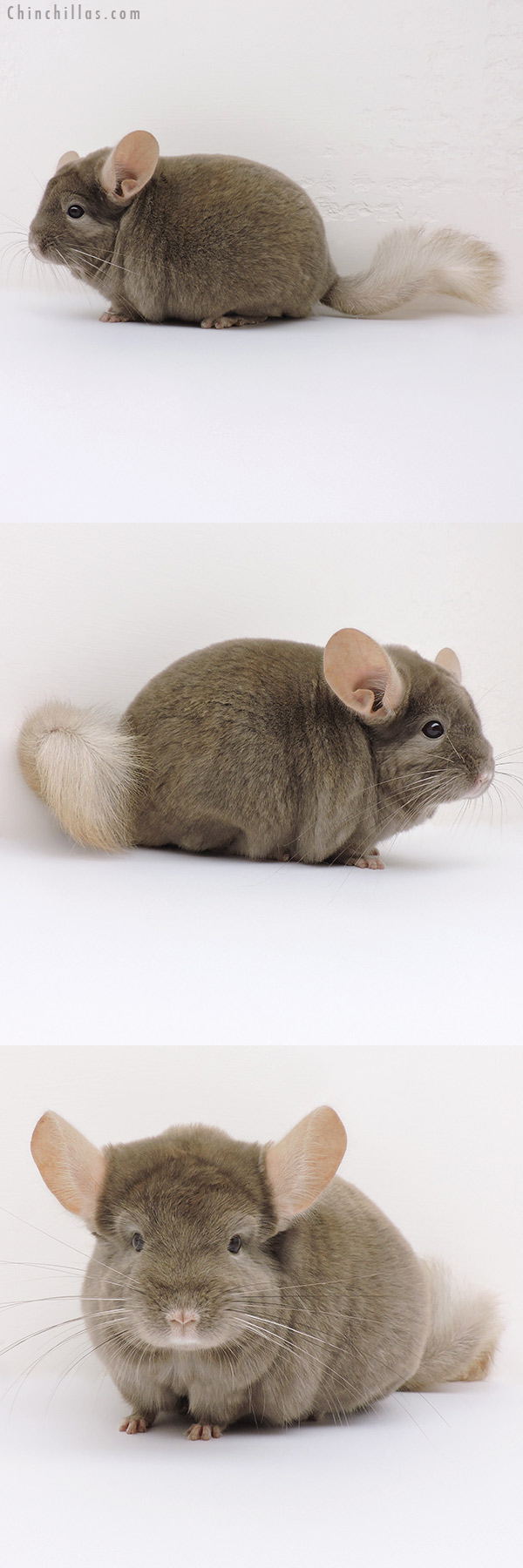 16220 Tan Male Chinchilla