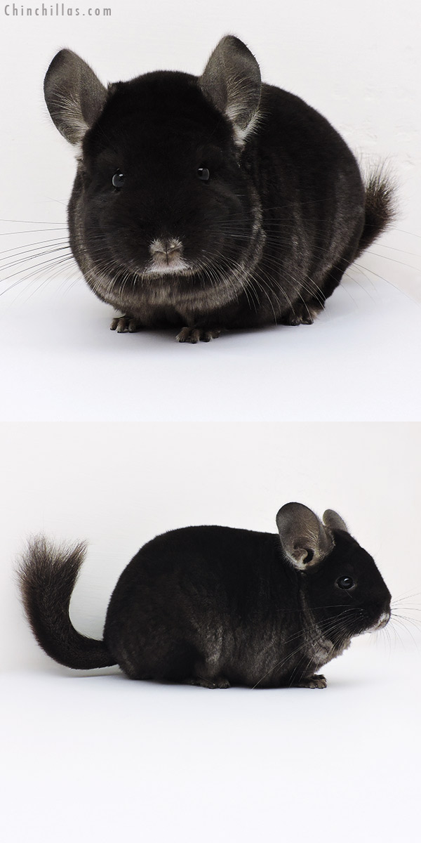 16229 Extra Large Premium Production Quality TOV Ebony Female Chinchilla