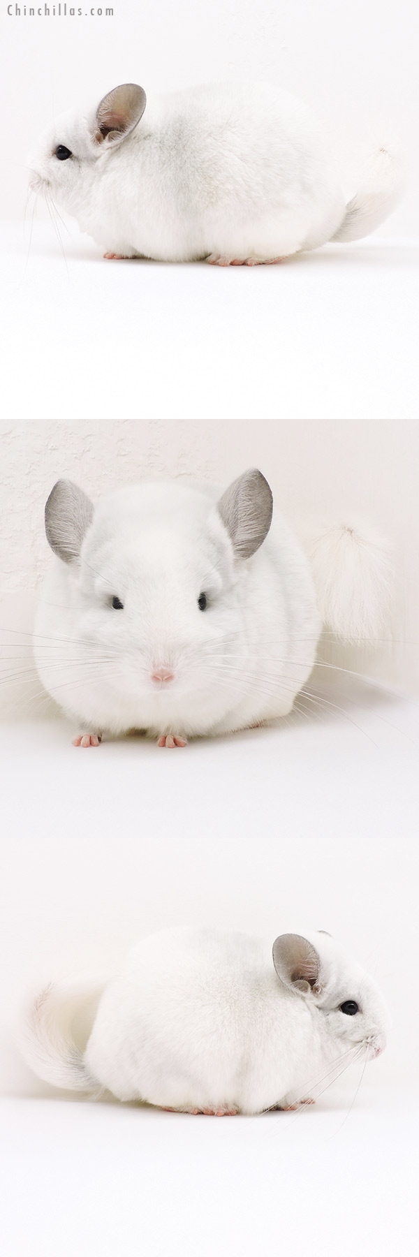 16244 Blocky Premium Production Quality Violet & White Mosaic Female Chinchilla