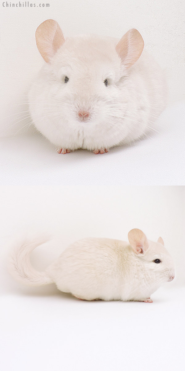 16233 Goldbar Female Chinchilla