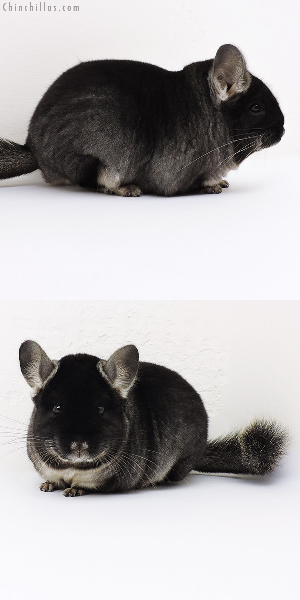 16223 Large Brevi Type Show Quality Black Velvet ( Ebony Carrier ) Male Chinchilla
