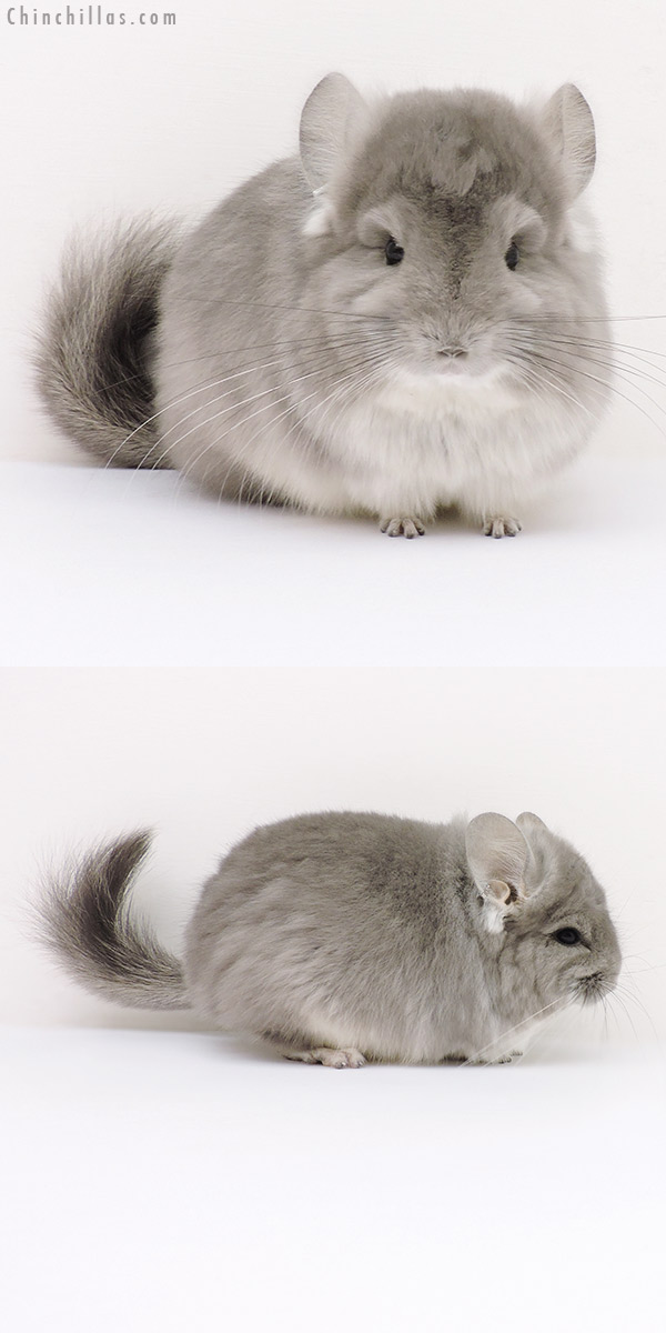 16259 Exceptional Violet CCCU Royal Persian Angora Male Chinchilla