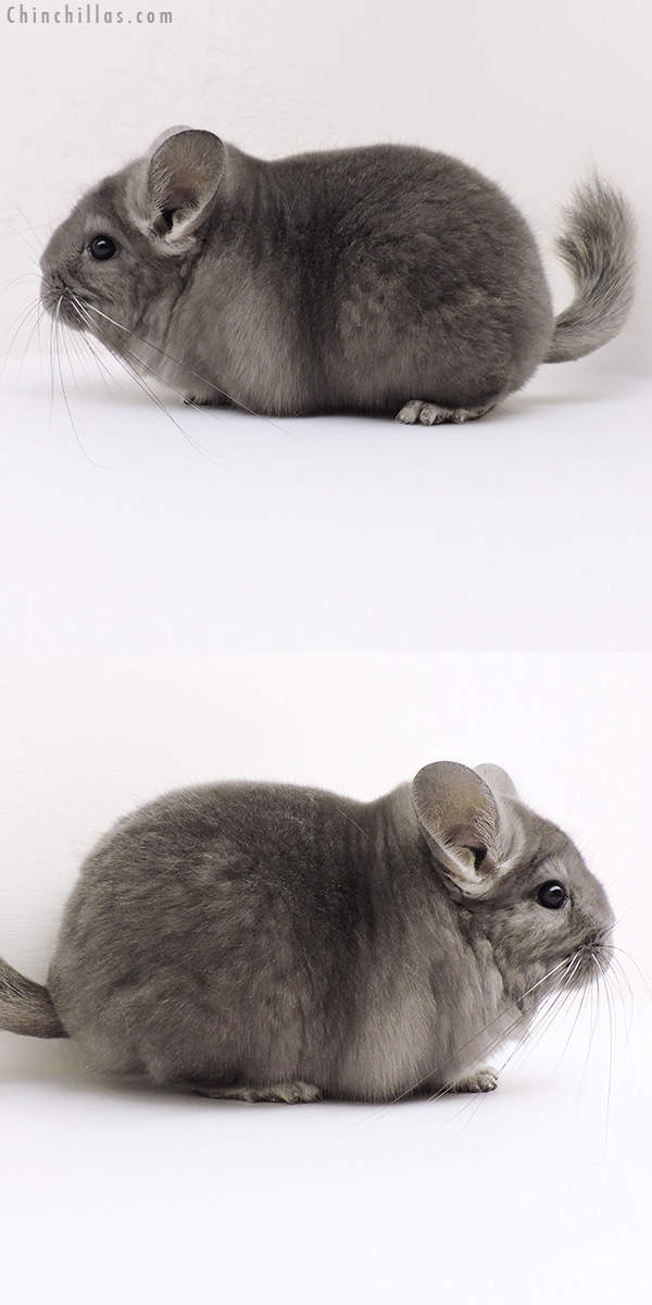 16246 Large Blocky Premium Production Quality Wrap Around Violet Female Chinchilla