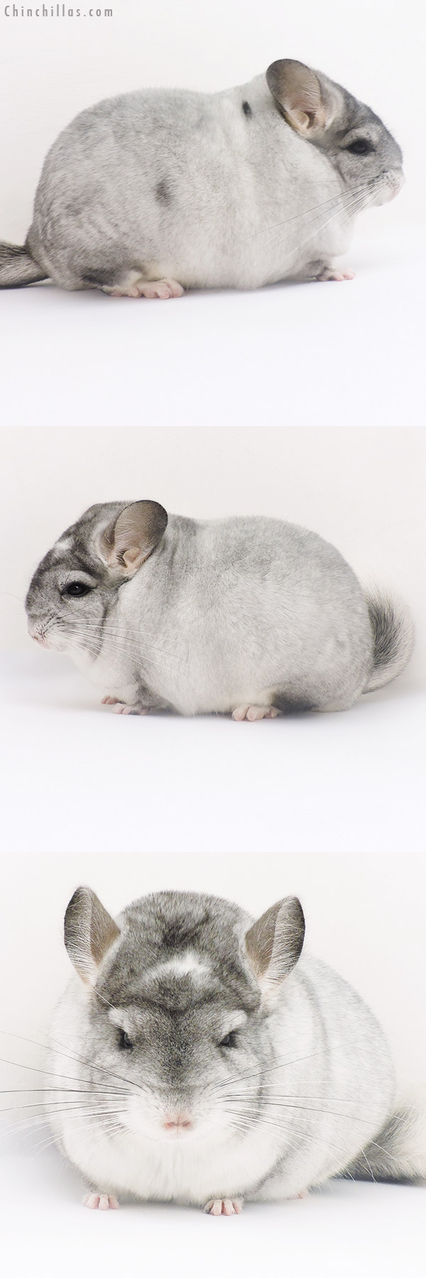 16238 Extra Large Blocky Show Quality Silver Mosaic Female Chinchilla