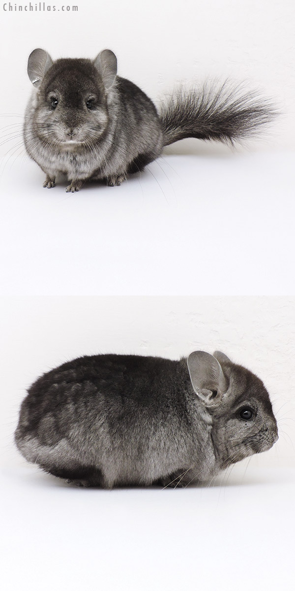 16255 Hetero Ebony CCCU Royal Persian Angora Male Chinchilla