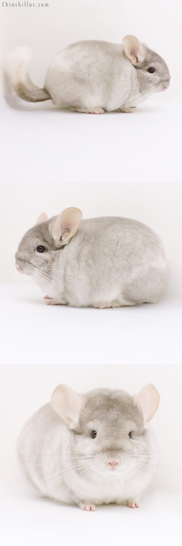 16256 Large Blocky Herd Improvement Quality Beige & White Mosaic Male Chinchilla