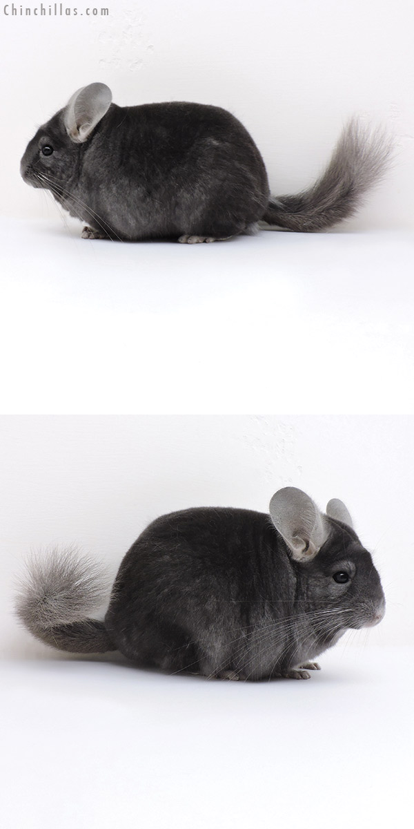 16257 Top Show Quality Dark Wrap Around Sapphire Male Chinchilla