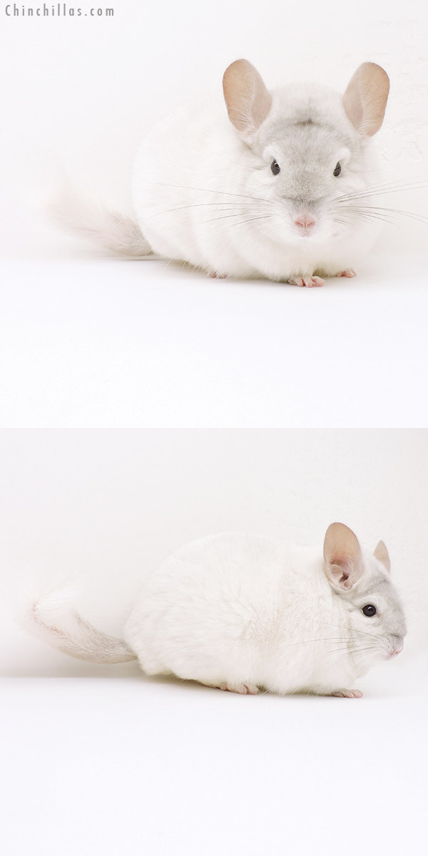 16252 Herd Improvement Quality Pink White Male Chinchilla