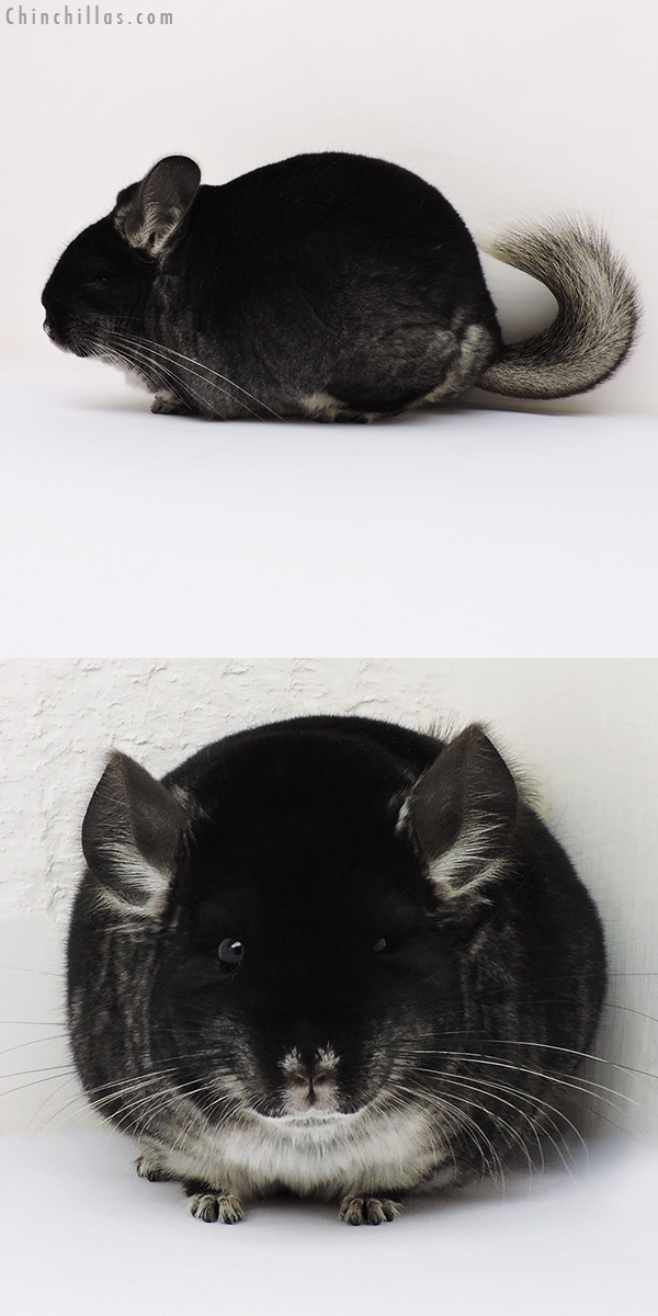 16143 Large Brevi Type Show Quality Black Velvet Female Chinchilla