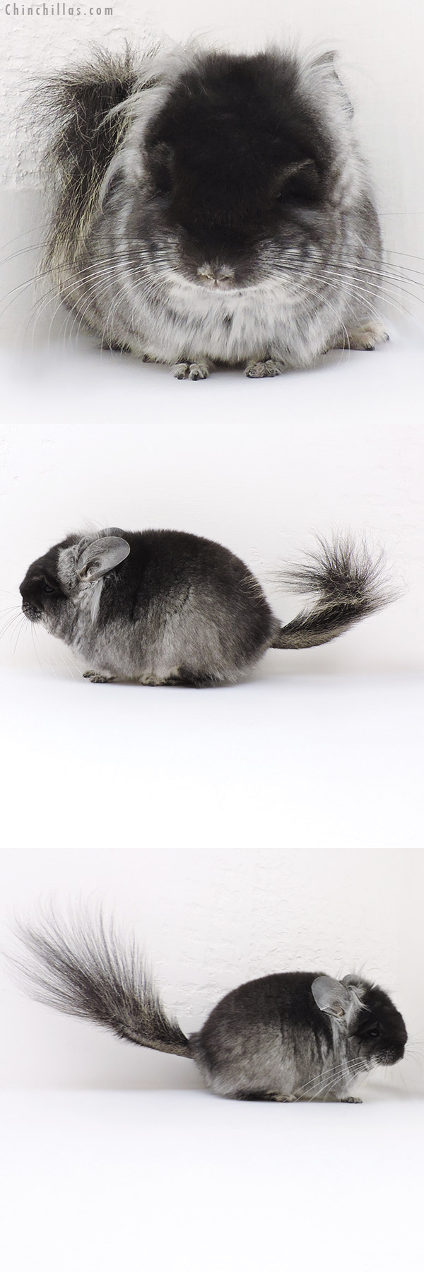 16251 Exceptional Black Velvet ( Violet Carrier ) CCCU Royal Persian Angora Male with long Ear Tufts Chinchilla