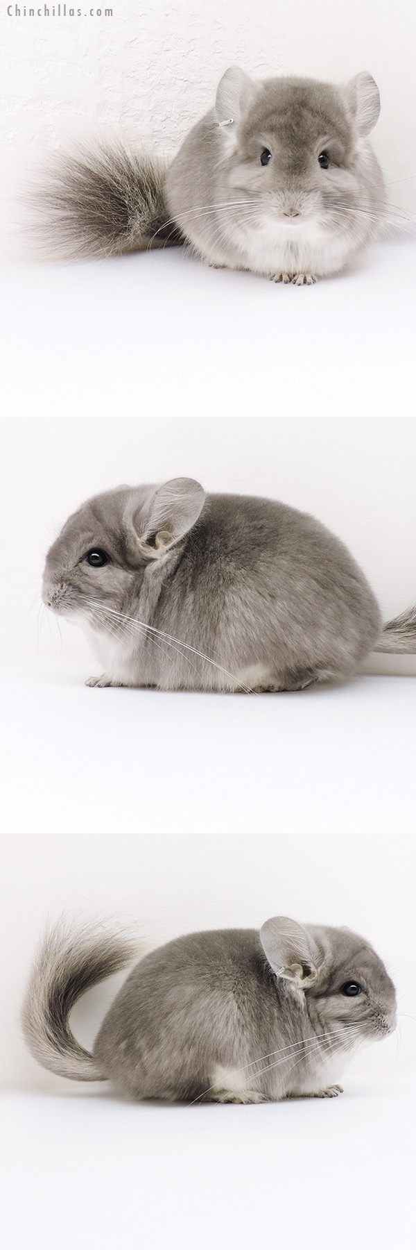 16253 Violet CCCU Royal Persian Angora Male Chinchilla