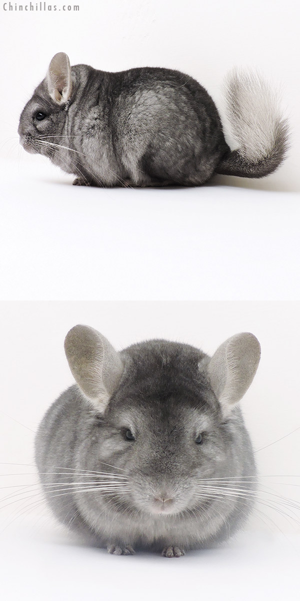 16241 Blocky Show Quality Wrap Around Sapphire Female Chinchilla