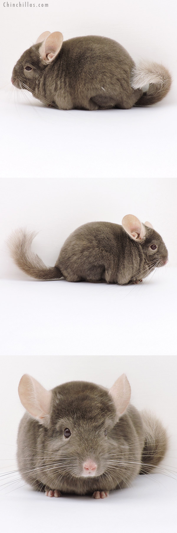 16273 Top Show Quality Tan Male Chinchilla