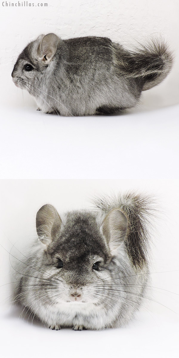 16289 Exceptional Standard CCCU Royal Persian Angora Male with Lion Mane Chinchilla