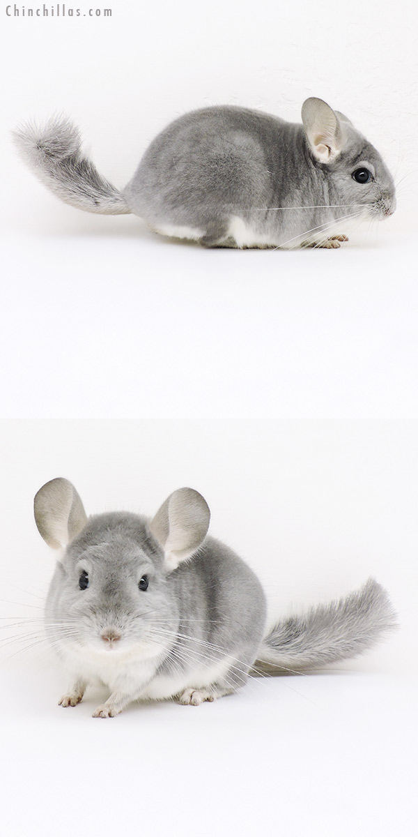 16293 Show Quality Blue Diamond Male Chinchilla