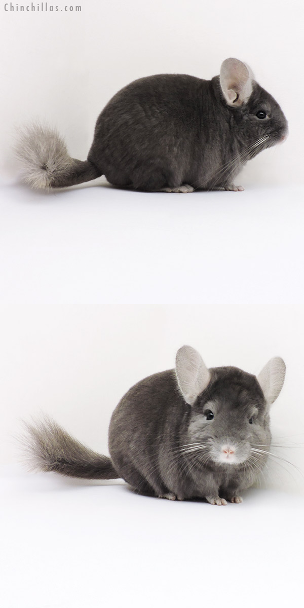 16282 Premium Production Quality Wrap Around Sapphire Female Chinchilla