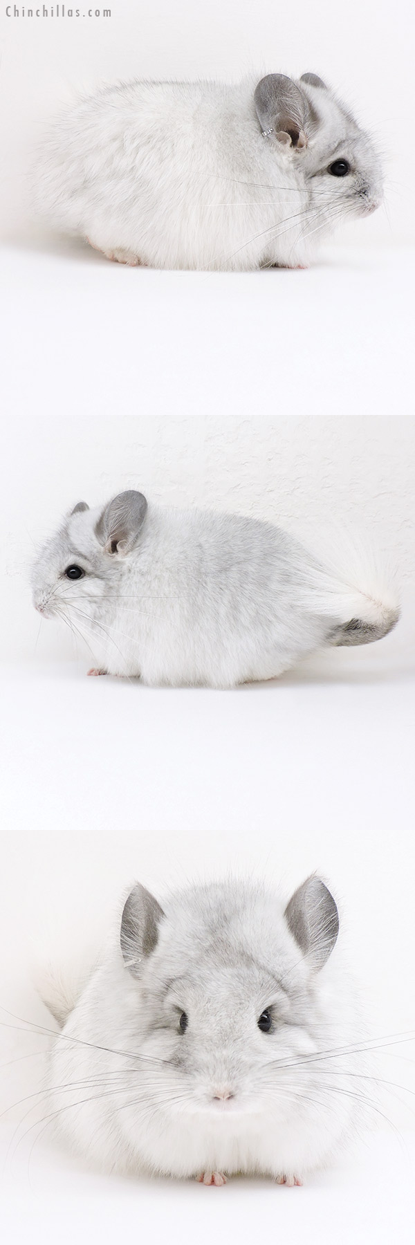 16274 Silver Mosaic CCCU Royal Persian Angora Female Chinchilla