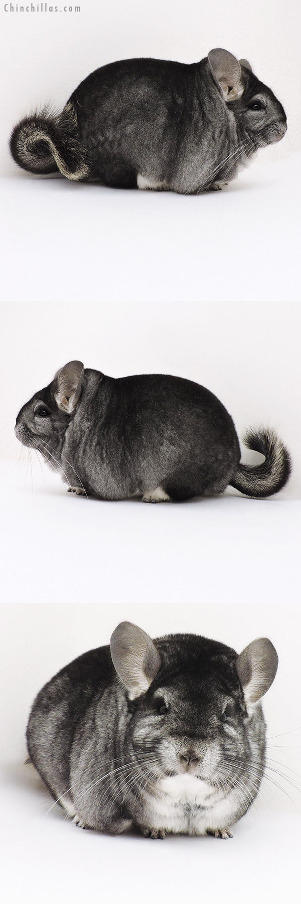 16296 Extra Large Blocky Premium Production Quality Standard Female Chinchilla