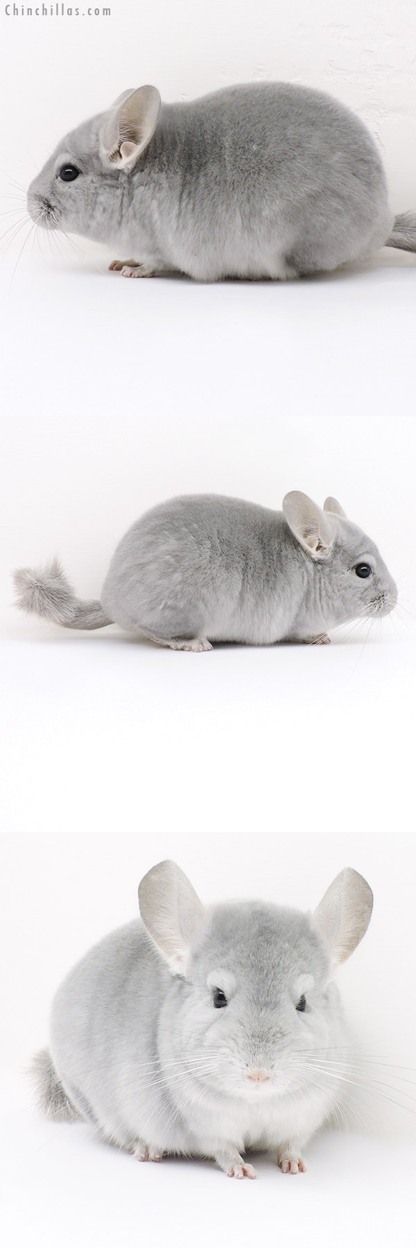 16300 Premium Production Quality Blue Diamond Female Chinchilla