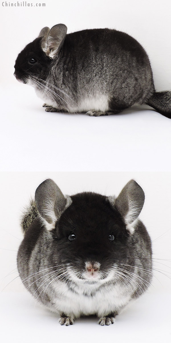 16303 Blocky Show Quality Black Velvet Male Chinchilla